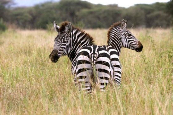 Zebra that looks like it has 2 heads