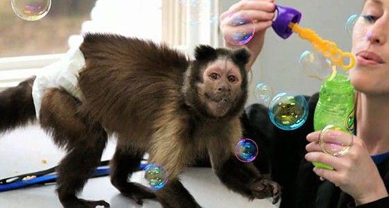 Capuchin Monkey enjoying bubbles