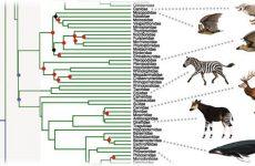 phylogeny of mammals