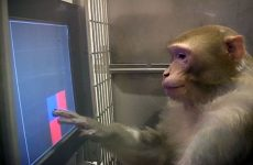 Monkey Playing Memory Game