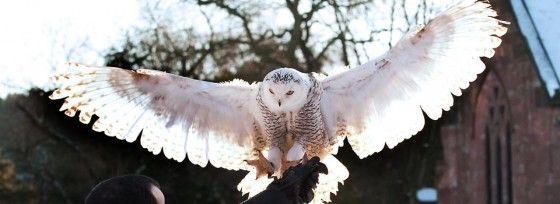Owl Flying around