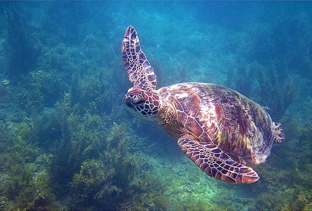 sea turtle at great barrier reef