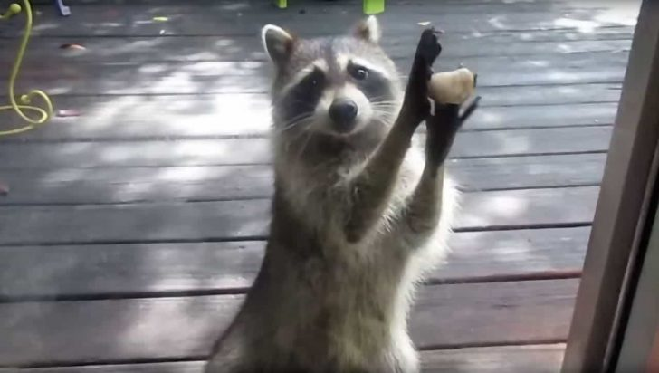 raccoon holding rock