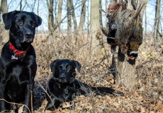 black lab hunting dogs