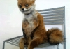 terrible taxidermy fox