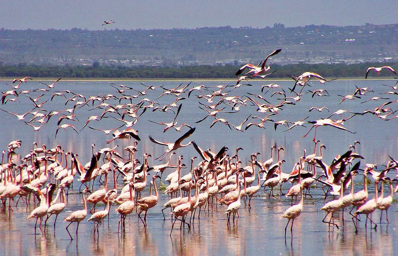 Lake Nakuru pink flamingos